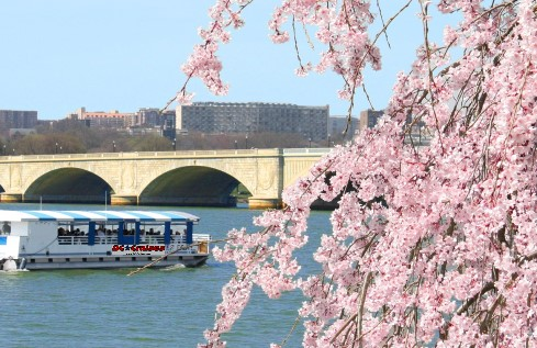 Cherry Blossoms seen from DC Cruises